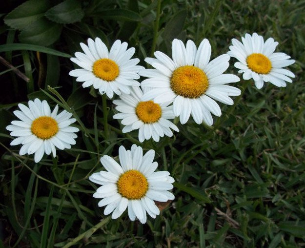 25 types of flowers to plant for summer summer flowers total daisies are one of the cutest seasonal flowers great for white floral arrangements and small weddings mightylinksfo