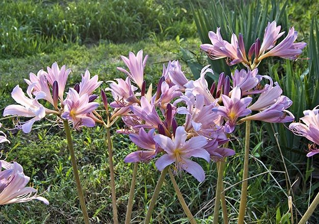 25 types of flowers to plant for summer summer flowers total rise with the lilies this summer in your bed of resurrection lilies mightylinksfo