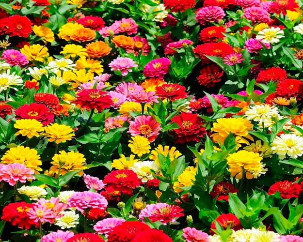 25 types of flowers to plant for summer summer flowers total zinnia types of summer flowers mightylinksfo