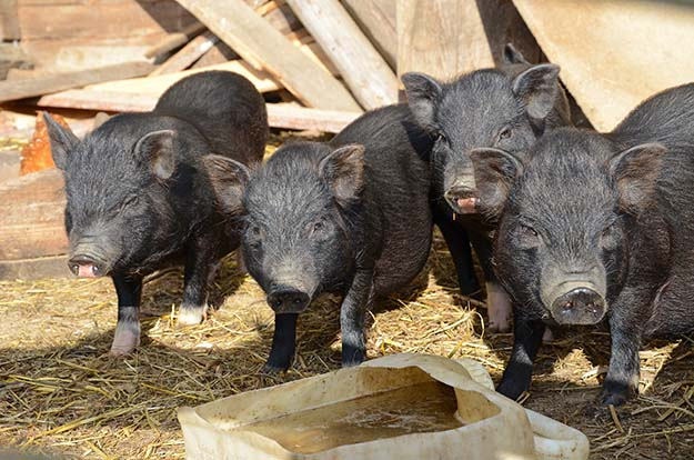 8 Week Old Piglets | 9 Tips for Raising Healthy Pigs