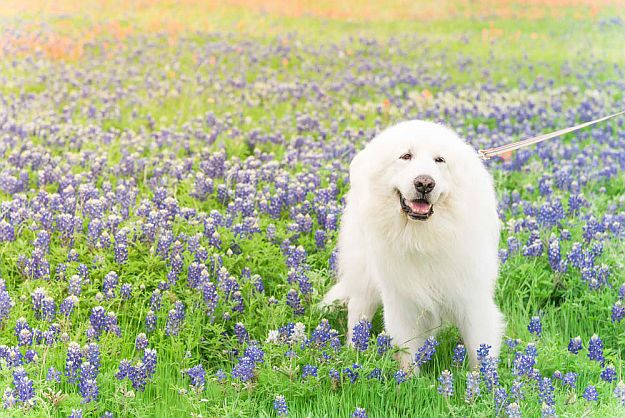 Great Pyrenees Top Working Dog Breeds For Country Living [Infographic]