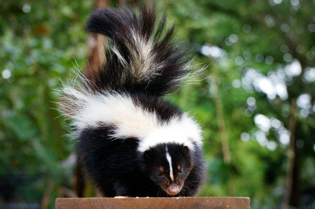 Remove Skunks In 3 Simple Steps | Off The Grid Hacks | Homesteading Tips